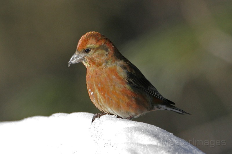 While I'm not actually birding while I ski, I often find species of interest anyway - like Red Crossbills. Image courtesy of www.masterimages.org.