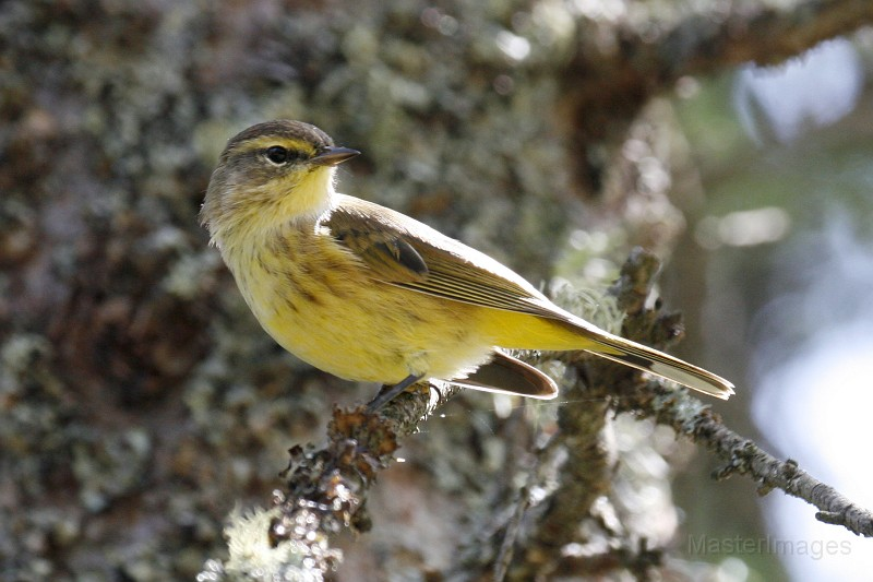 Palm Warblers can be heard singing from the bog mat at Sabattis. Image courtesy of www.masterimages.org.
