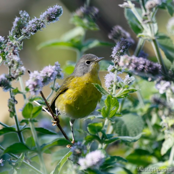 I found a few Nashville Warblers throughout the day. Photo courtesy of www.masterimages.org.
