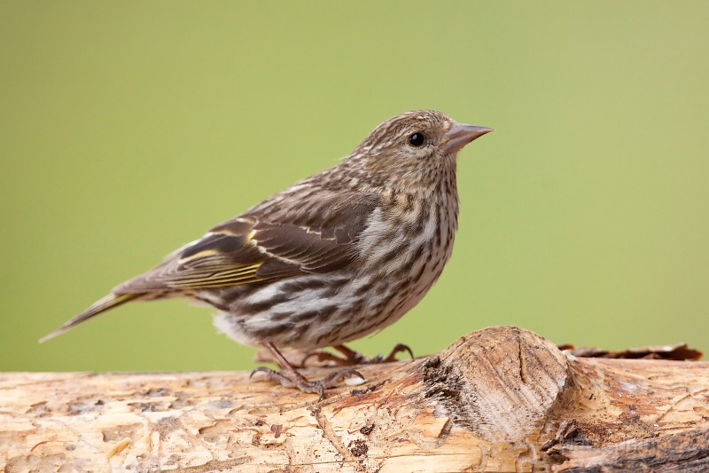 Pine Siskins are often found during the latter half of fall. Image courtesy of MasterImages.org.