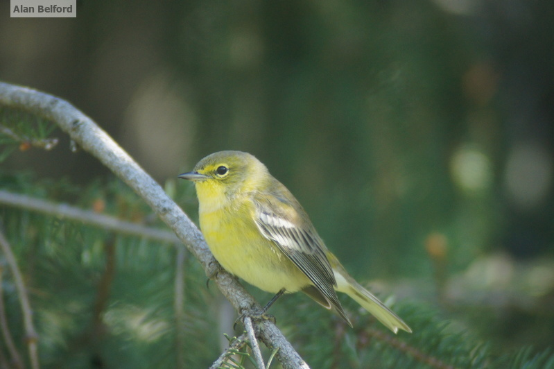 Aptly named, we found Pine Warblers in the white pines which lined the route.