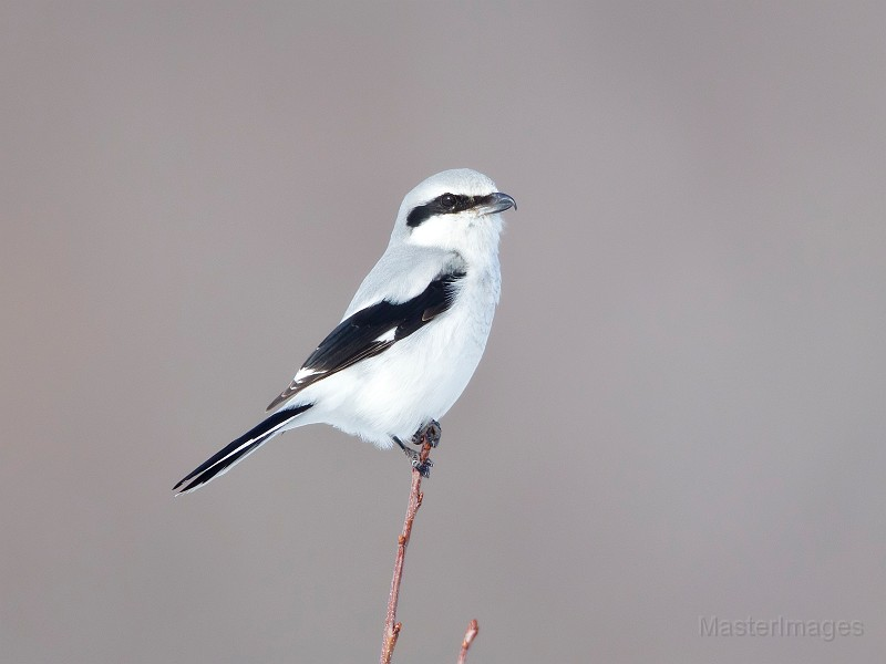 There have also been other birds of interest in the neighborhood, including a Northern Shrike across from the OWD tower. Photo courtesy of www.masterimages.org.