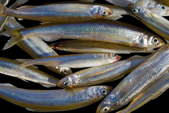 The sweet smelt of success. (photo 12840227 (c) Valeriy Kirsanov | Dreamstime.com)