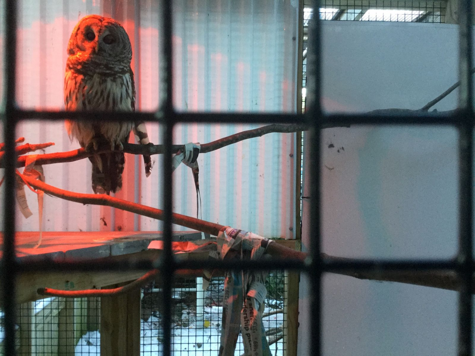 When it gets too cold for the heat lamp to keep this owl warm, they will come inside.