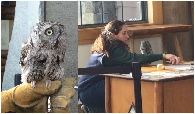 Luna the owl cannot make it in the wild, so she is now part of a teaching team at The Wild Center.