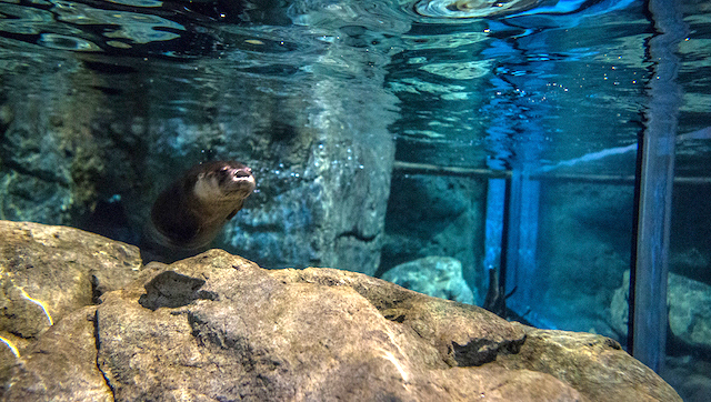 The otter tank has everything to make these river otters happy and active.