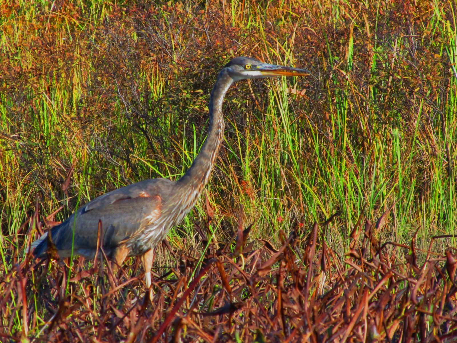 The Blue Heron - love the button eye!