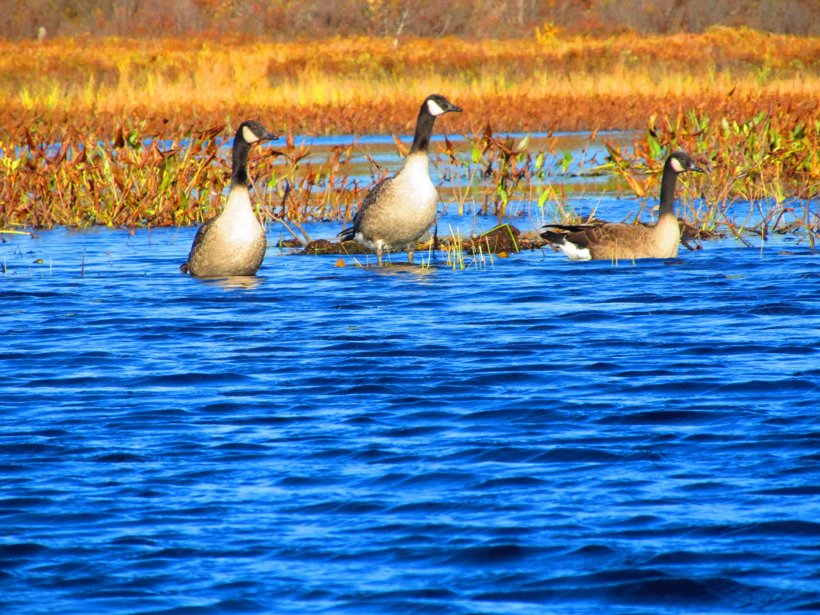 Canadian Geese - I know they make a mess!