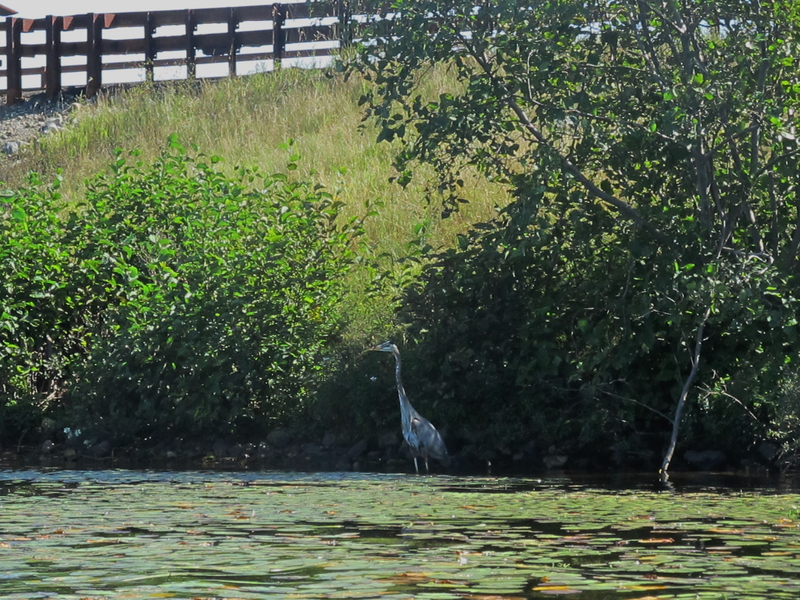 The Blue Heron below route 30 bridge. She looks like a stick, but we can still see her!