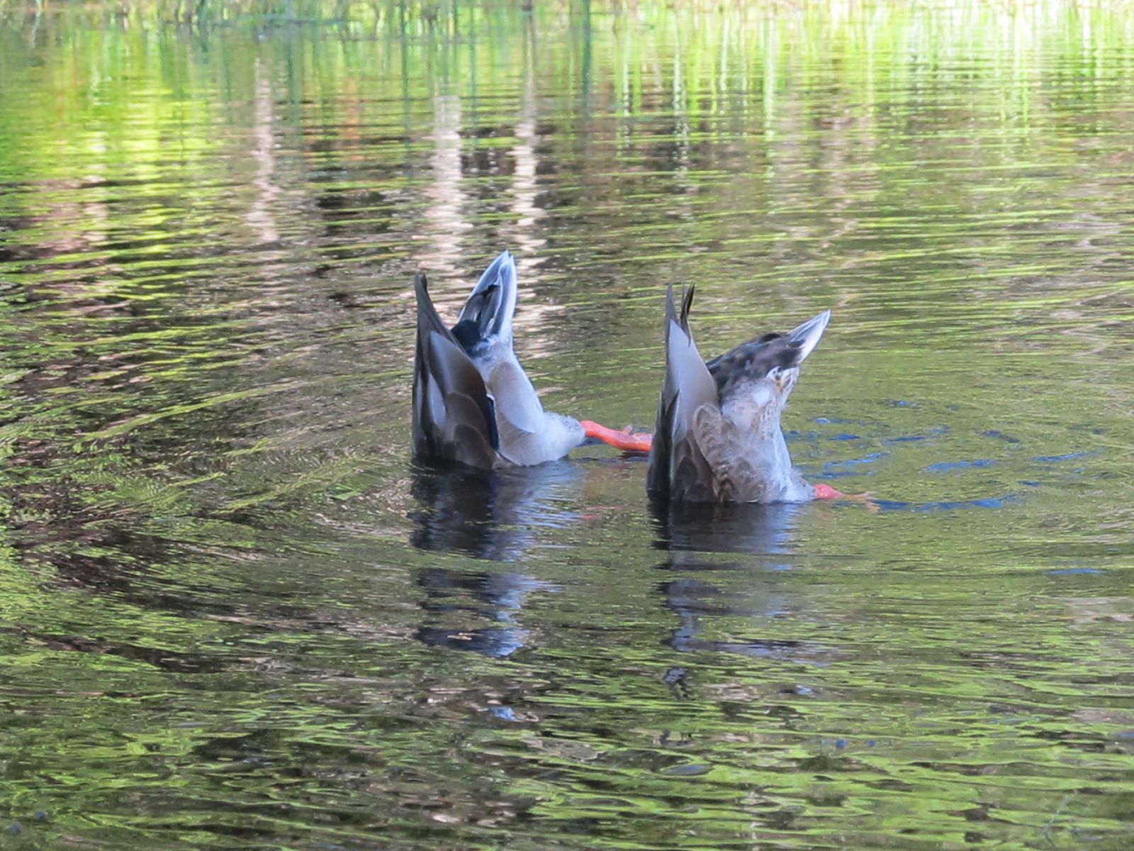 What is that?    Oh two ducks - Bottoms Up!