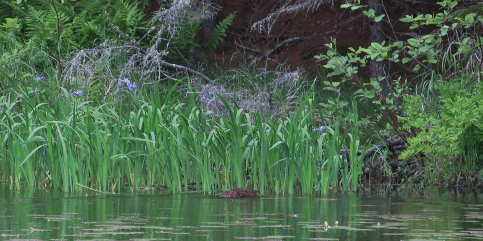 The River Otter, with Iris Plants in the background